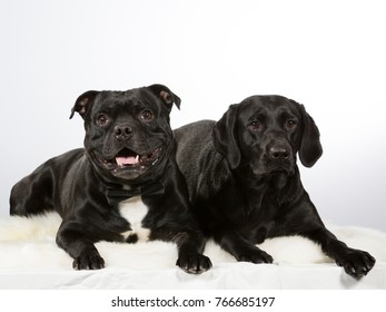 Two dogs next to each other, isolated on white. American staffordshire and black labrador portrait image taken in studio.