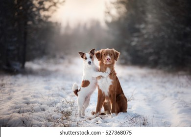 two dogs and a Nova Scotia Duck Tolling Retriever and Jack Russell in nature from Christmas trees