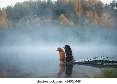 Two dogs  on the lake in the morning in the fog. Animals breed Nova Scotia Duck Tolling Retriever, Toller and Australian Shepherd