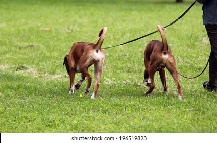 two dogs on leashes walking on the grass