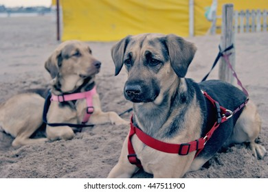 Two dogs on the sand resting in a beach of  Mar del PLata, Argentina