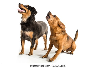 Two dogs. One rat terrier and one mini dachshund in studio. White background.