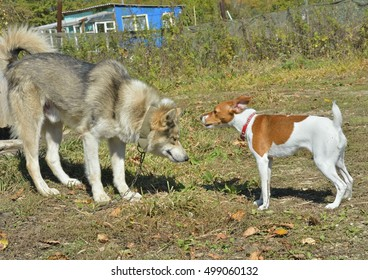 Two dogs: Parson Russell terrier and Siberian husky.