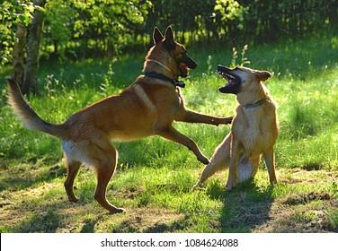 Two dogs plaing in garden