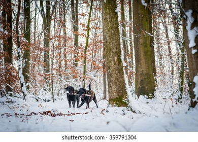 Two dogs are playing in the forest in winter