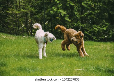 Two dogs playing in grass