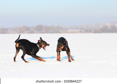 Two dogs playing / growling