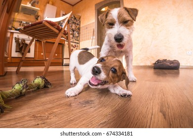 Two Dogs playing at home