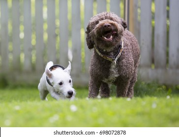 Two dogs playing like crazy outdoors. The white dog is a parson russell terrier puppy and the big one is a lagotto romagnolo.