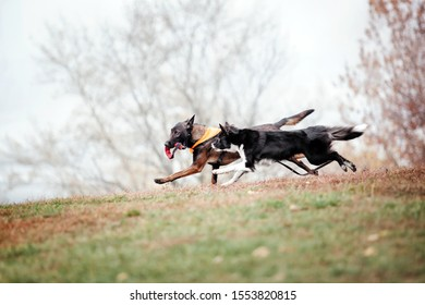 Two dogs playing outdoor. Border collie dog and Belgian Shepherd running