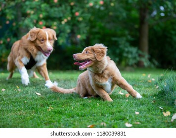 Two dogs playing outdoors. Puppy and older dog. The dog breeds are Nova Scotia duck tolling retrievers