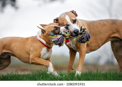 two dogs playing with rope close up
