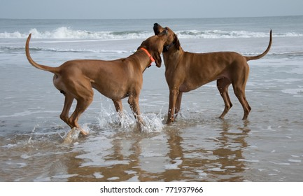 Two dogs playing in shallow water at the beach