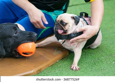 Two dogs playing with a toy together in swimming pool (Big dog Great Dane and small dog Pug)