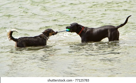 Two dogs playing tug-o-war with a rope toy in the ocean