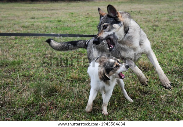 Two dogs playing and wrestling in an autumn meadow. One of them a hybrid of a Czechoslovakian wolfdog and the other a hybrid of spitz. Dogs from shelter.