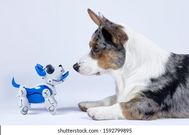 Two dogs, real corgi and electronic interactive puppy toy look to each other. High technology concept of future domestic animals in electronic home. Indoors, copy space.