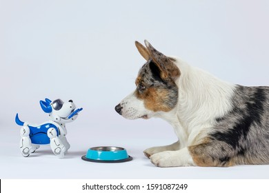 Two dogs, real one corgi and electronic interactive puppy toy look to each other in front of empty pet bowl. High technology concept of future domestic animals in electronic home. Indoors, copy space