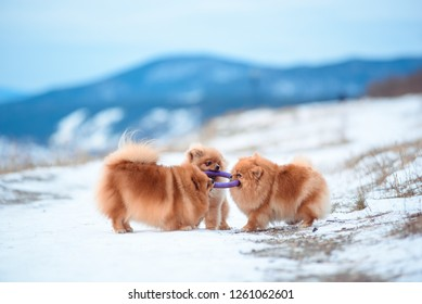 Two dogs of red color of breed of Spitz play on the mountain in the winter.