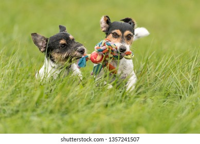 Two dogs run and play with a ball in a meadow - a cute Jack Russell Terrier puppy with her bitch
