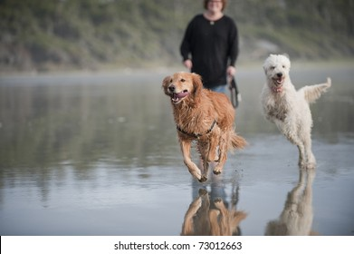 Two dogs run towards camera away from a partially seen woman with a leash on a wet sandy beach.
