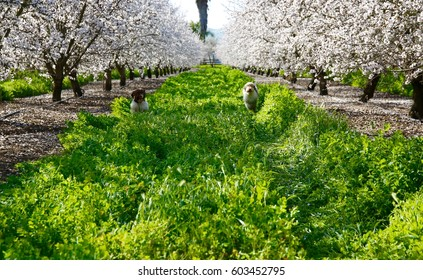 Two dogs running in the tall grass among several mature almond trees in full bloom.