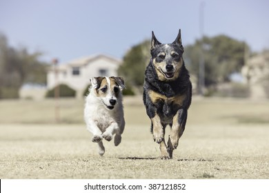Two dogs running toward the camera