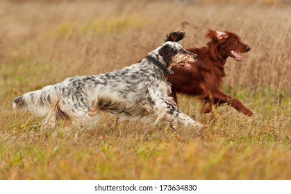 Two dogs runs on a green grass. Shallow DOF, focus on dog. Shooting with panning.