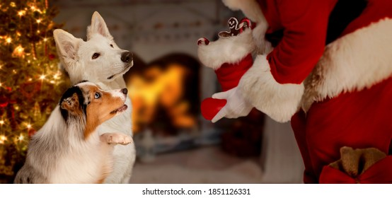 two dogs sat expectantly in front of Santa Claus with presents in a Christmassy decorated living room with illuminated Christmas tree and open fire