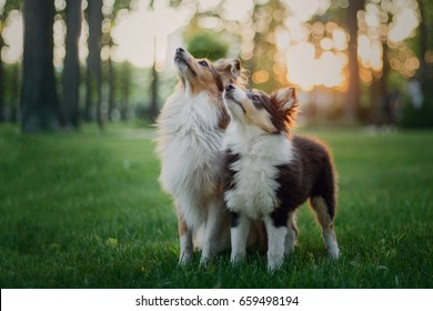 Two dogs Shetland Sheepdog sitting together. Puppy and adult dog, family, group of dogs of the same breed.