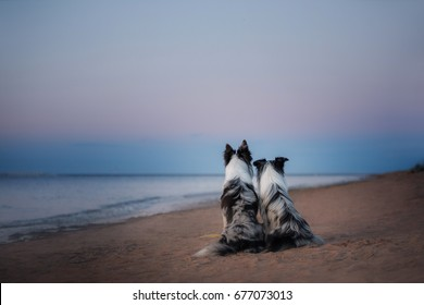 Two dogs sit and look at the water. Border collie marble color on the beach