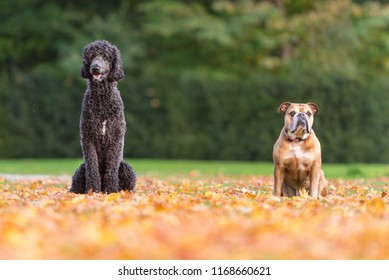 Two dogs are sitting in autumn foliage - King Poodle and Continental Bulldog