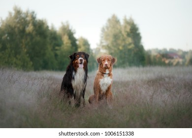 two dogs are sitting in the grass on the field. Australian shepherd and a Nova Scotia Duck Tolling Retriever together