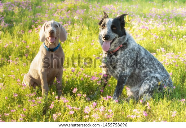 Две собаки, сидя на цветущем лугу в вечернем солнце