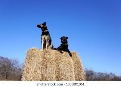 Two dogs are sitting on a haystack. Black dog smiles and second doggy looks away. Russia, Vladivostok