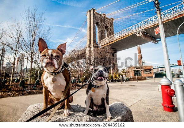 Two dogs sitting on a rock in front of the Brooklyn Bridge, New York City.
