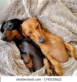 Two dogs snuggled up to each other, sleeping on the bed covered with a soft blanket