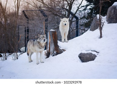Two dogs standing together in snow winter concept friendship, team, leader, Asahikawa, Japan