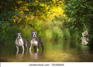Two dogs standing in water Blue American staffordshire terrier, amstaff, stafford pit bull big strong gray dog outdoor in summer