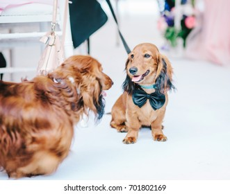 Two dogs in a suit at a wedding. Concept for wedding guests