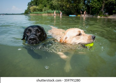 Two dogs are swimming in the lake.