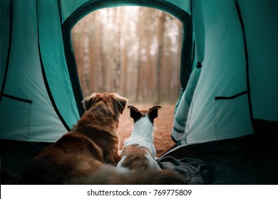 two dogs in a tent in the forest. travel with the pet. Nova Scotia Duck Tolling Retriever and a Jack Russell Terrier. adventure dog