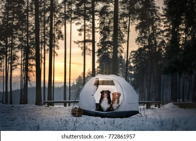 two dogs in a tent on snow in the forest. Travel with a pet, adventure together. Nova Scotia Duck Tolling Retriever and Australian Shepherd. adventure dog