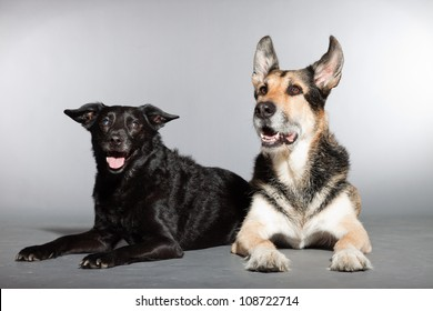 Two dogs together. Black mixed breed dog and german shepherd. Studio shot isolated on grey background.