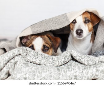 Two dogs under the rug. Friendship of pets