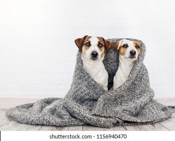 Two dogs under the rug. Friendship of pets at home
