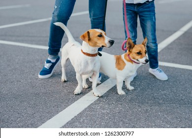 Two dogs with unrecognizable owners on leashes have walk outdoor, pose at asphalt at street. Mother and daughter wear jeans and sneakes stroll with pets. Animals and recreation concept