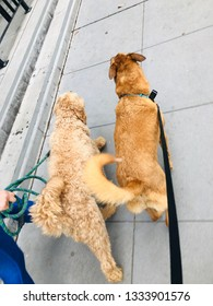 Two Dogs Walking Together on City Sidewalk Puppy Best Friends on Walk