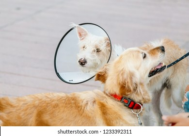 Two dogs wearing a protective Elizabethan collar after surgery