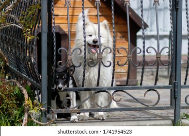 Two dogs: a white Samoyed and a black and white purebred dog, peeping through the forged lattices of the aviary. In the background is a wooden doghouse. In the summer on a sunny day.